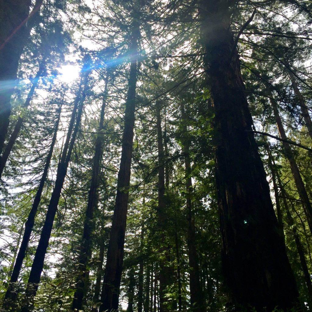 top-california-attractions-muir-woods